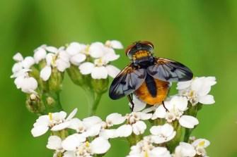 Goldschildfliege, hübsche Raupenfliege, Insekt des Jahres 2014