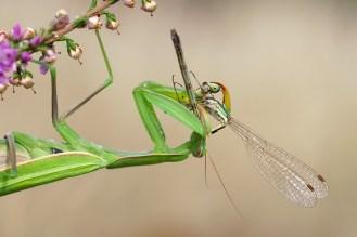 Mantis religiosa , weibl. beim fressen einer Kleinlibelle