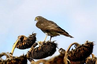 Immer wieder gerne auf einer Sonnenblume -Sperber (Accipiter nisus)