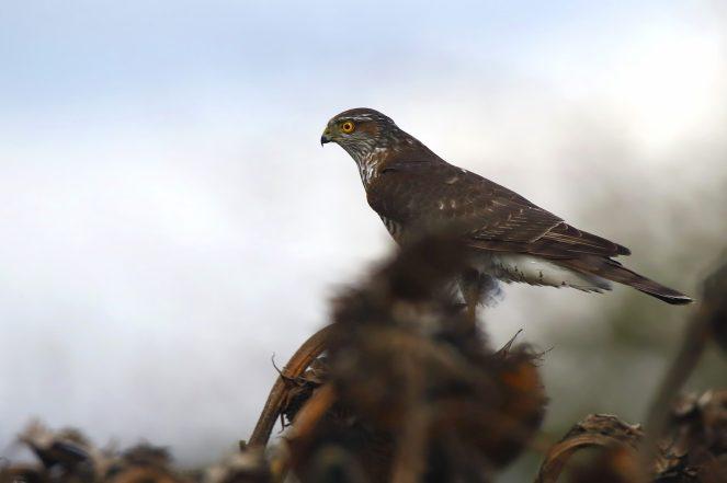 Sperber (Accipiter nisus)- Beliebter Ansitz