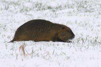 Nutria im Schnee beim Laufen