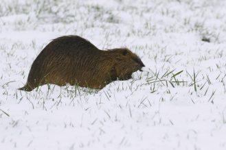 Nutria Kopf im Schnee