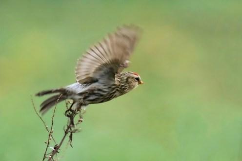 Abflug - Birkenzeisig (Carduelis flammea)
