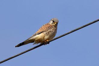 Turmfalke - Terzel - (Falco tinnunculus)