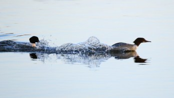 Typisches Verhalten, Mergus merganser, Männchen jagt Weibchen , Gänsesäger