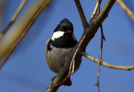 Tannenmeise - Parus ater -