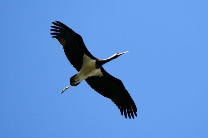 Schwarzstorch im Überflug (Ciconia nigra)
