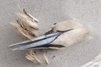 trauriges Schicksal, toter Basstölpel am Strand