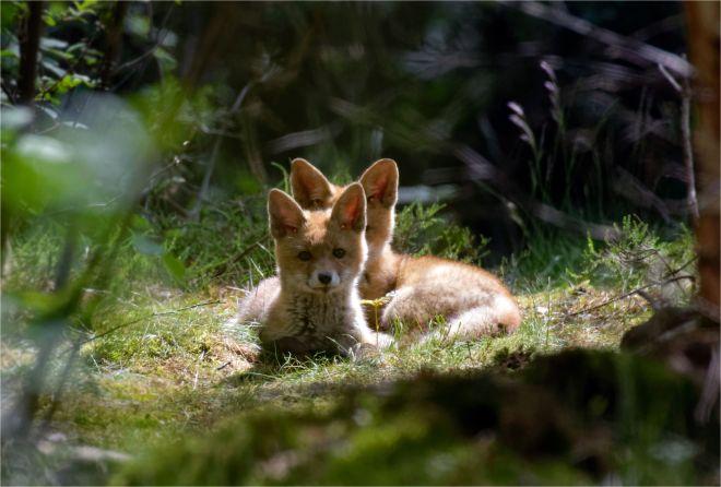 2 Jungfüchse ( Vulpes vulpes) wildlife