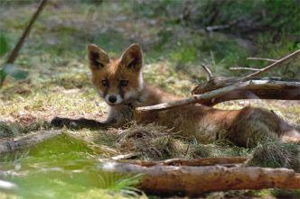 Junger Fuchs ( Vulpes vulpes) , wildlife,