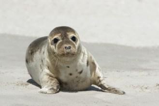 Ein herziger Kerl - Seehund auf Helgoland -(Phoca vitulina)