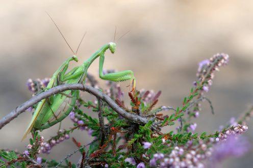 Paarung der Gottesanbeterin - Mantis religiosa -