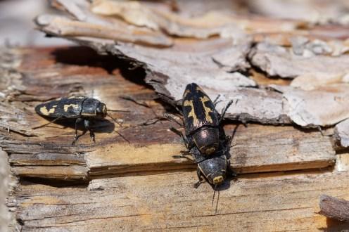 Gefleckter Nadelholzprachtkäfer (Buprestis novemmaculata)