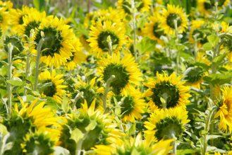 Sonnenblumen bei Schönbach