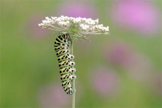 Raupe vom Schwalbenschwanz -Papilio machaon