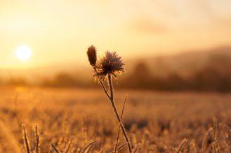 frostige Blüte beim Sonnenaufgang