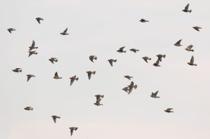 Seidenschwänze im Flug (Bombycilla garrulus)
