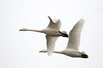 Duo (Singschwäne (Cygnus cygnus)