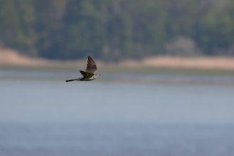 Kuckuck (Cuculus canorus) im Flug