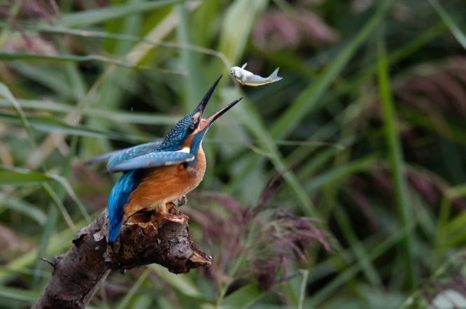 Eisvogel (Alcedo atthis) , Fliegender Fisch, seltenes Foto