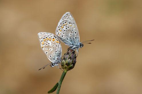 Ehepaar Hauhechel-Bläuling - Polyommatus icarus