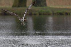 Fischadler (Pandion haliaetus), Abflug...