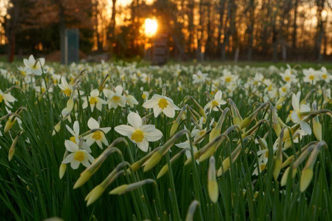 Narzissenblüte in Schönbach 9