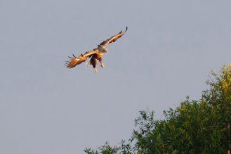 Seeadler am frühem Morgen