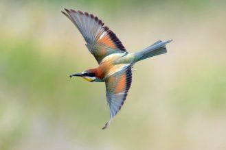 Im Flug, klasse SchwingenBienenfresser (Merops apiaster)