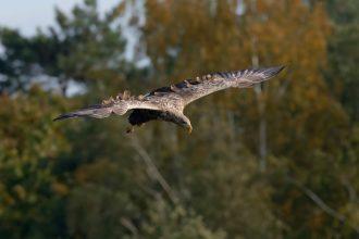 Seeadler im Anflug! Beute erspäht