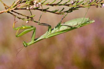 Gottesanbeterin, Weibchen, Mantis religiosa