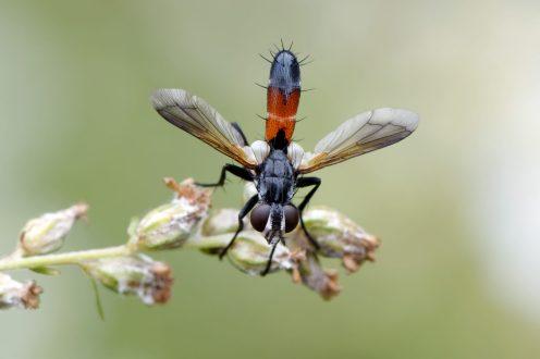 IMG_8163_DxO Sonja Haase Raupenfliege Cylindromyia brassicaria