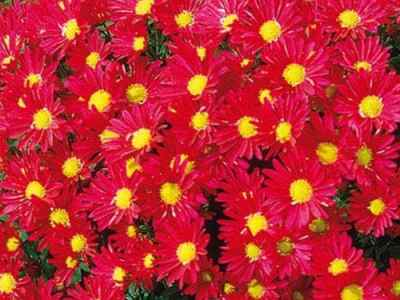 red daisy monster mum