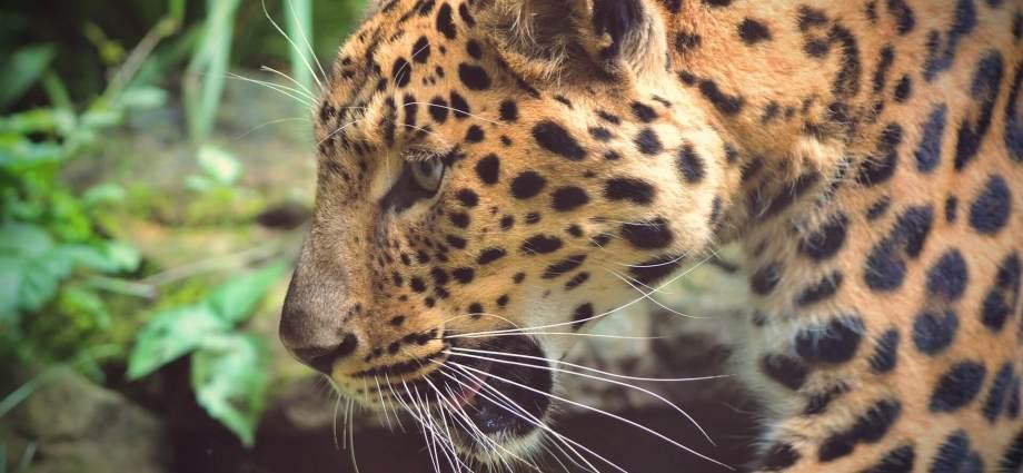 Luipaard in de Jungle