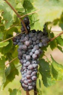 Druiventros corvina veronese Lenotti wijngaard