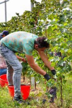 Druiven plukken Lenotti