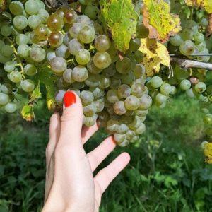 Belgische wijn: druiven