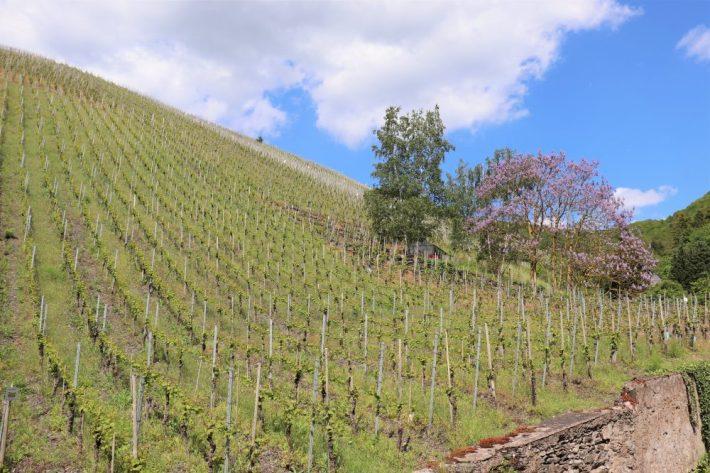 Berkastel Kues wijngaard