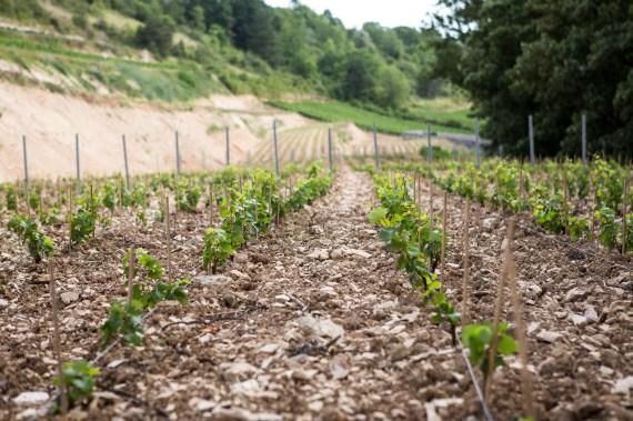 Jonge wijnstokken in Bourgogne