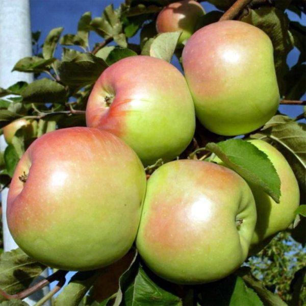 Синап Орловский – яблоня, описание