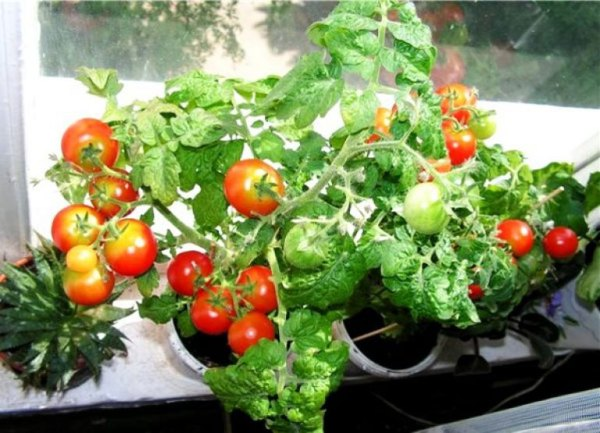 Томат Балконное чудо – отзывы о выращивании, описание и ...