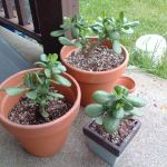How To Take Care Of Your Friendship Plant Jade Plant Which Will Bring You Luck And Fortune Plant Talk Nurserylive Wikipedia