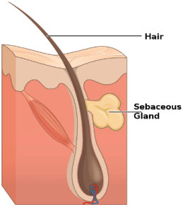Image result for sebaceous gland