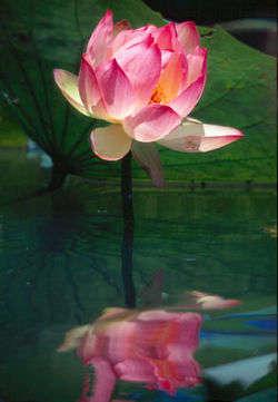 Lotus wasser.jpg