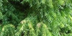 فوائد شجرة النيم