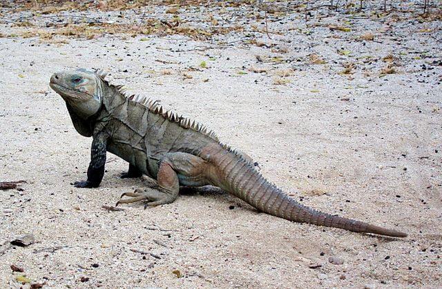 Iguana de Ricordi
