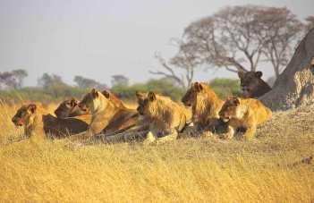 صيد-الفرائس-الكبيرة--في-أفريقيا---صيد-الأسد