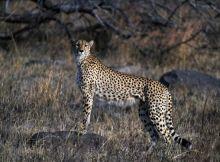 صيد-الفرائس-الكبيرة--في-أفريقيا---صيد-وحيد-الفهود