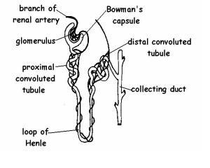 Excretory System Answers  WikiEducator