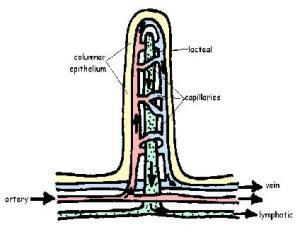 Digestive System Answers  WikiEducator